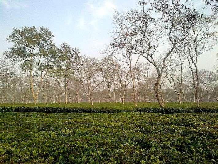 Čajová zahrada v Ásámu