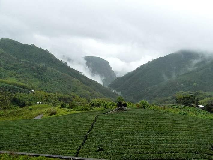 Čajová plantáž v horách Alishan